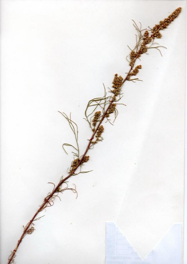 какая трава от аллергии