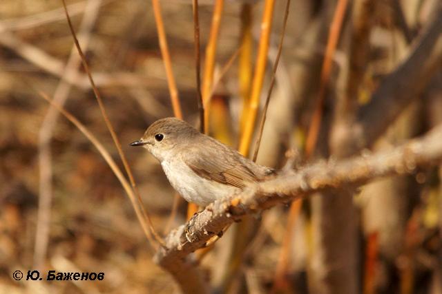 Самка  малой мухоловки. Фото Ю. Баженова.