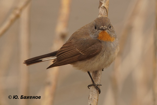 Самец малой мухоловки. Фото Ю. Баженова.