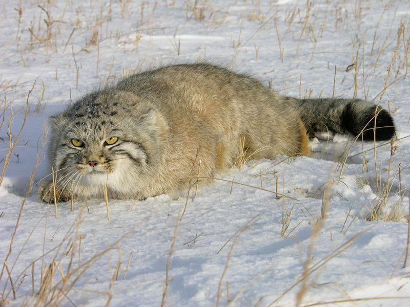 Кошки и прочие забавные животные  - Страница 7 Manuk_kirilik